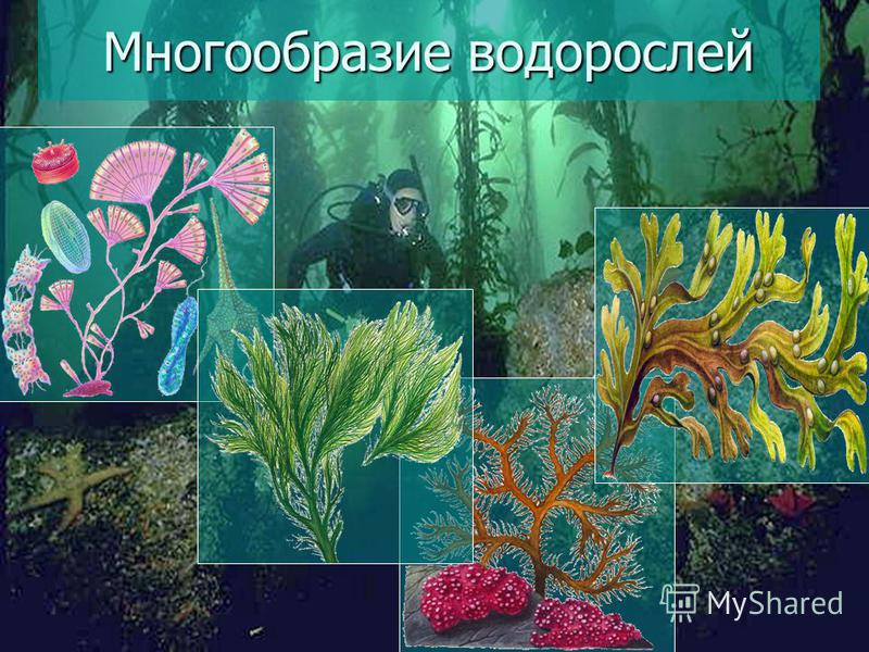 25 Многообразие водорослей
