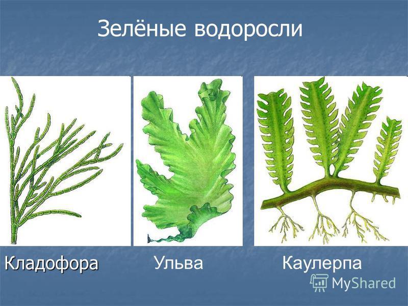 Кладофора Каулерпа Ульва Зелёные водоросли