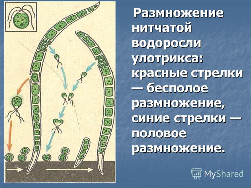 Размножение нитчатой водоросли улотрикса: красные стрелки бесполое размножение, синие стрелки половое размножение. Размножение нитчатой водоросли улотрикса: красные стрелки бесполое размножение, синие стрелки половое размножение.