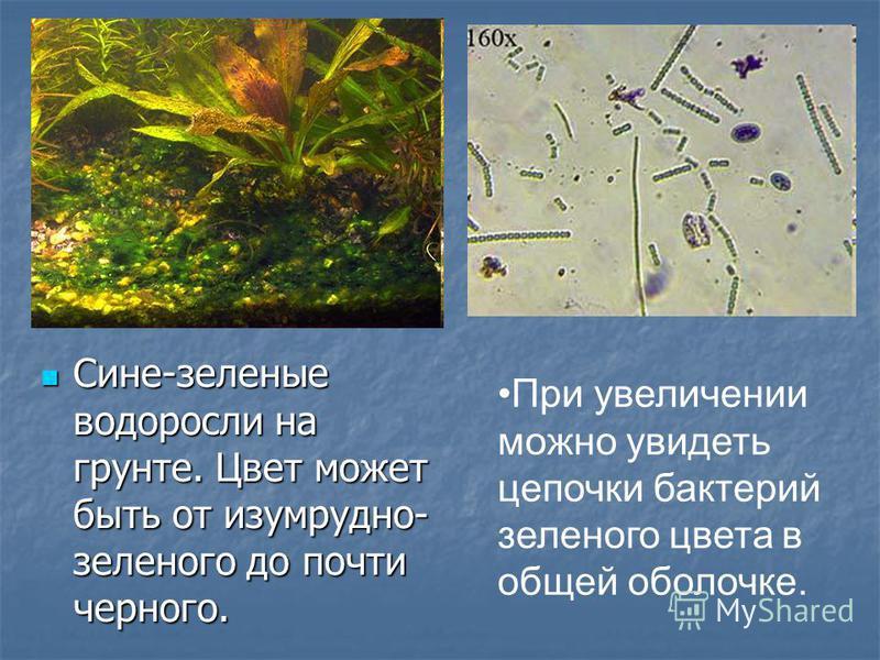 Сине-зеленые водоросли на грунте. Цвет может быть от изумрудно- зеленого до почти черного. Сине-зеленые водоросли на грунте. Цвет может быть от изумрудно- зеленого до почти черного. При увеличении можно увидеть цепочки бактерий зеленого цвета в общей