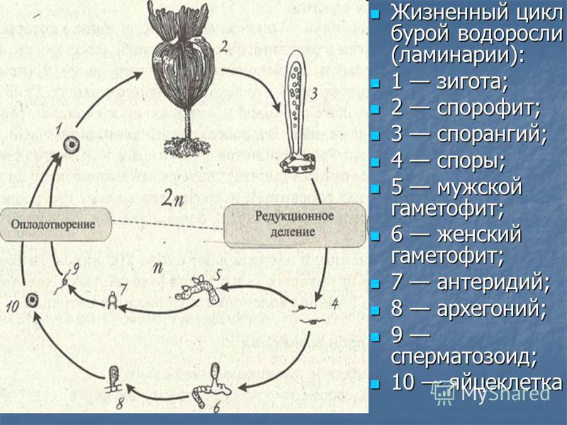 Жизненный цикл бурой водоросли (ламинарии): Жизненный цикл бурой водоросли (ламинарии): 1 зигота; 1 зигота; 2 спорофит; 2 спорофит; 3 спорангий; 3 спорангий; 4 споры; 4 споры; 5 мужской гаметофит; 5 мужской гаметофит; 6 женский гаметофит; 6 женский г