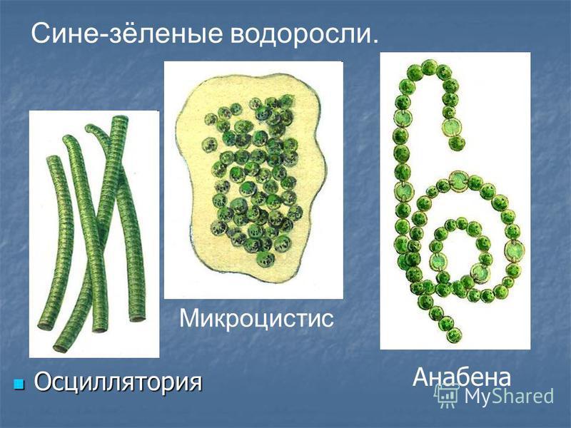 Осциллятория Осциллятория Сине-зёленые водоросли. Микроцистис Анабена