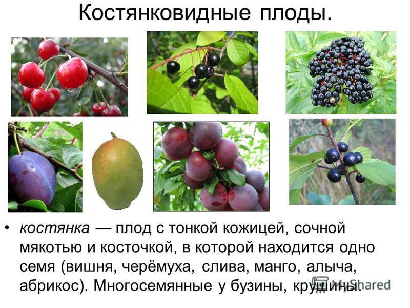 Костянковидные плоды. костянка плод с тонкой кожицей, сочной мякотью и косточкой, в которой находится одно семя (вишня, черёмуха, слива, манго, алыча, абрикос). Многосемянные у бузины, крушины.