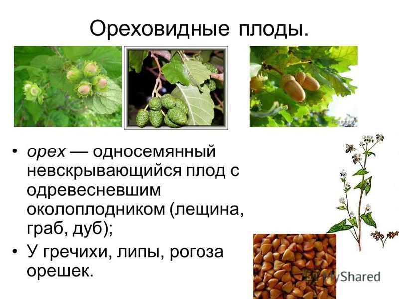 какие плоды у липы