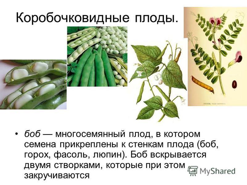 Коробочковидные плоды. боб многосеманный плод, в котором семена прикреплены к стенкам плода (боб, горох, фасоль, люпин). Боб вскрывается двумя створками, которые при этом закручиваются