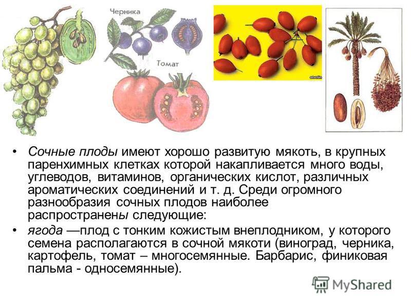 Сочные плоды имеют хорошо развитую мякоть, в крупных паренхимных клетках которой накапливается много воды, углеводов, витаминов, органических кислот, различных ароматических соединений и т. д. Среди огромного разнообразия сочных плодов наиболее распр