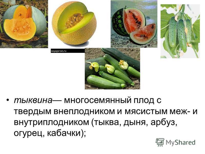 тыквина многосеманный плод с твердым внеплодником и мясистым меж- и внутриплодником (тыква, дыня, арбуз, огурец, кабачки);