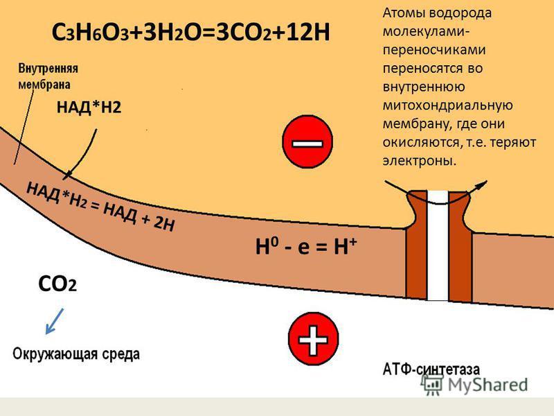 C 3 H 6 O 3 +3H 2 O=3CO 2 +12H СО 2 Н 0 - е = Н + НАД*Н2 НАД*Н 2 = НАД + 2Н Атомы водорода молекулами- переносчиками переносятся во внутреннюю митохондриальную мембрану, где они окисляются, т.е. теряют электроны.