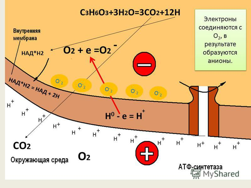 НАД*Н2 = НАД + 2Н СО 2 О2О2 + + + + + + + + + + ++ Н Н Н Н Н Н Н Н НН Н Н Н + Н 0 - е = Н - О 2 + е =О 2 НАД*Н2 C 3 H 6 O 3 +3H 2 O=3CO 2 +12H + Электроны соединяются с О 2, в результате образуются анионы. О-2О-2 О-2О-2 О-2О-2 О-2О-2 О-2О-2