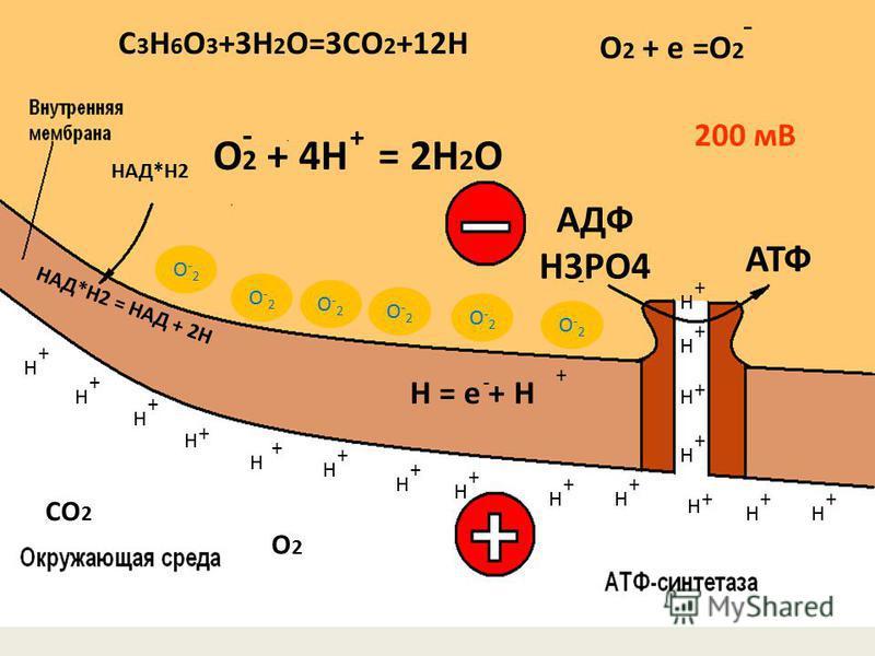 СО 2 Н = е + Н О 2 + 4Н = 2Н 2 О + О2О2 200 мВ АДФ Н3РО4 АТФ + + + + + + + + + + + + + + ++ Н Н Н Н Н Н Н Н НН Н Н Н Н Н Н Н - + - + - НАД*Н2 = НАД + 2Н НАД*Н2 C 3 H 6 O 3 +3H 2 O=3CO 2 +12H О 2 + е =О 2 - О-2О-2 О-2О-2 О-2О-2 О-2О-2 О-2О-2 О-2О-2