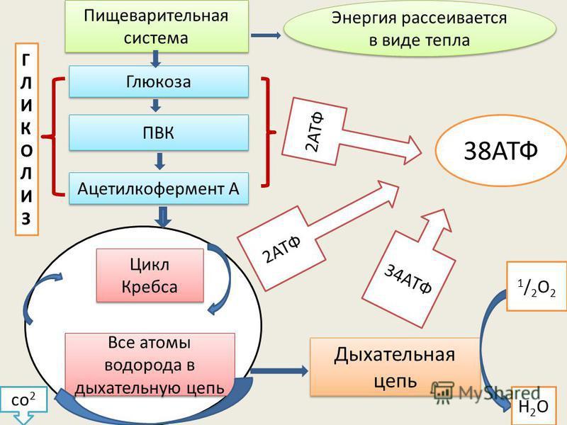 Пищеварительная система Энергия рассеивается в виде тепла Глюкоза ПВК Ацетилкофермент А Цикл Кребса Все атомы водорода в дыхательную цепь ГЛИКОЛИЗГЛИКОЛИЗ Дыхательная цепь 38АТФ 2АТФ 34АТФ со 2 1/2О21/2О2 Н2ОН2О