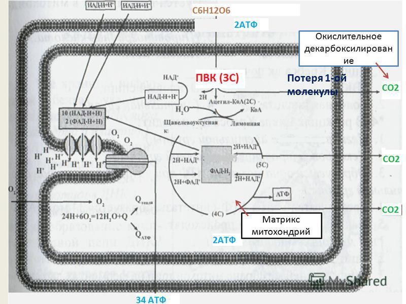 Окислительное декарбоксилирован ие Потеря 1-ой молекулы Матрикс митохондрий