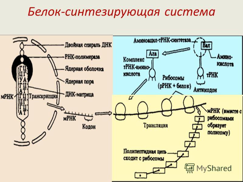 4. Универсален для всех клеток (человека, животных, растений). 5. Специфичен. Один и тот же триплет не может соответствовать нескольким аминокислотам. 6. Синтез белка начинается со стартового (начального) кодона АУГ, который кодирует аминокислоту мет