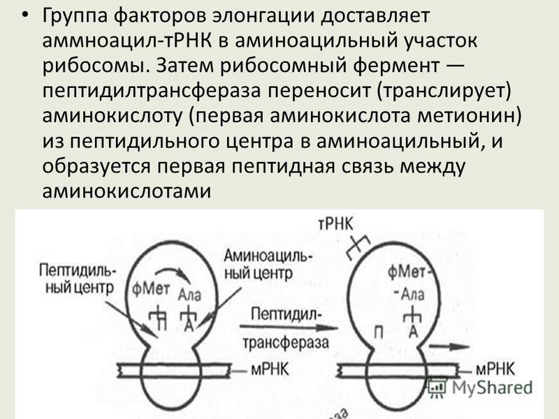 Большая субъединица имеет два участка: пептидильный (донорный), связанный с удлиняющейся цепью полипептида, а второй, аминоацильиый (акцепторный), присоединяющий новую аминоацил-тРНК.