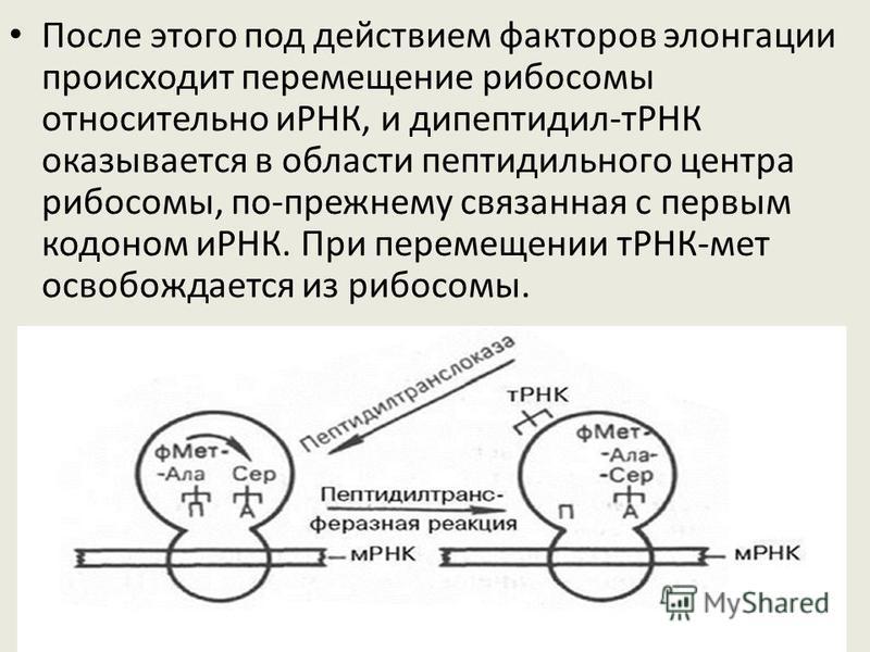 Группа факторов элонгации доставляет аммноацил-тРНК в аминоацильный участок рибосомы. Затем рибосомный фермент пептидилтрансфераза переносит (транслирует) аминокислоту (первая аминокислота метионин) из пептидильного центра в аминоацильный, и образует