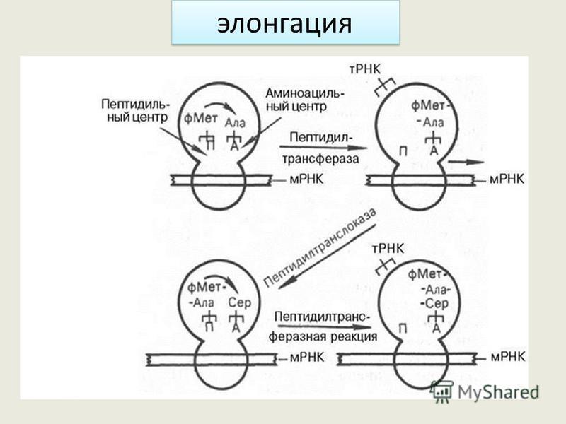 А П АУГГЦГГГЦУЦГ УАЦ мет ЦГЦ Ала про ЦЦГ 1. Кислота мет. аминоацильный центр 2. Возникает пептидная связь 3. Рибосома делает скачок 4. Дипептид в пептидильном центре 5. В аминоациальный центр поступает новая тРНК согласно кодону несёт нужную аминокис