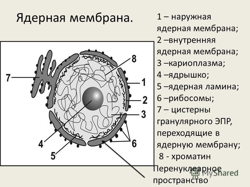Ядерная мембрана. 1 – наружная ядерная мембрана; 2 –внутренняя ядерная мембрана; 3 –кариоплазма; 4 –ядрышко; 5 –ядерная ламина; 6 –рибосомы; 7 – цистерны гранулярного ЭПР, переходящие в ядерную мембрану; 8 - хроматин Перенуклеарное пространство