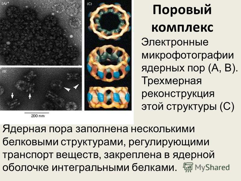 Поровый комплекс Электронные микрофотографии ядерных пор (А, В). Трехмерная реконструкция этой структуры (С) Ядерная пора заполнена несколькими белковыми структурами, регулирующими транспорт веществ, закреплена в ядерной оболочке интегральными белкам