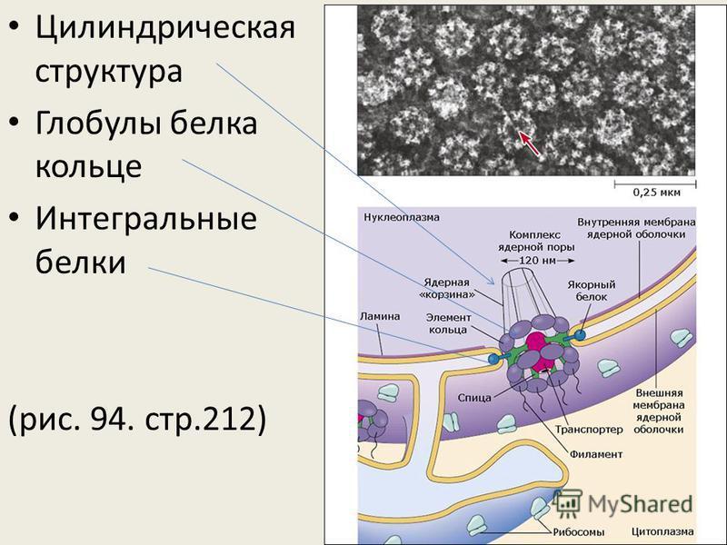 Цилиндрическая структура Глобулы белка кольце Интегральные белки (рис. 94. стр.212)