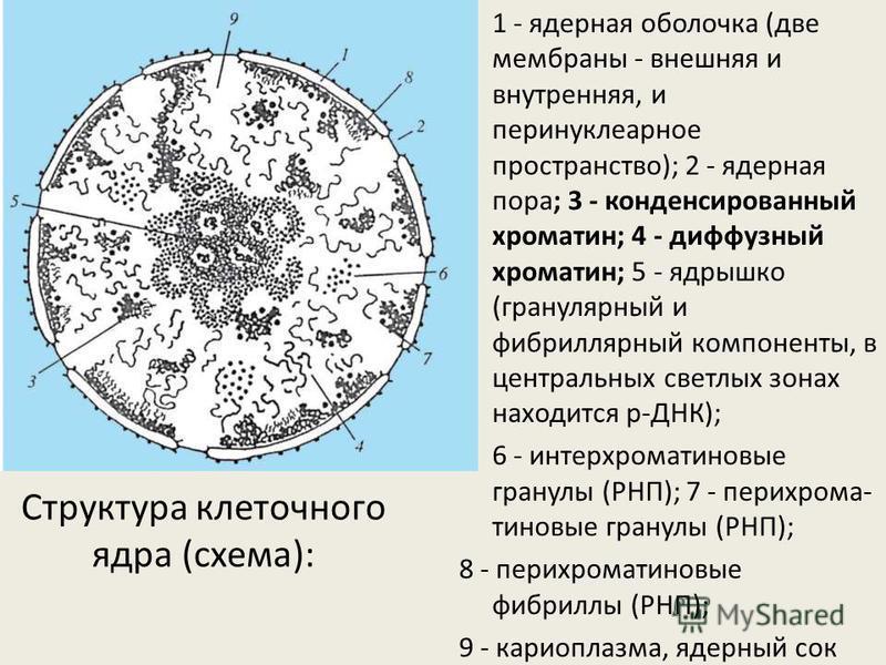 1 - ядерная оболочка (две мембраны - внешняя и внутренняя, и перинуклеарное пространство); 2 - ядерная пора; 3 - конденсированный хроматин; 4 - диффузный хроматин; 5 - ядрышко (гранулярный и фибриллярный компоненты, в центральных светлых зонах находи