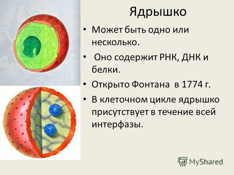Ядрышко Может быть одно или несколько. Оно содержит РНК, ДНК и белки. Открыто Фонтана в 1774 г. В клеточном цикле ядрышко присутствует в течение всей интерфазы.