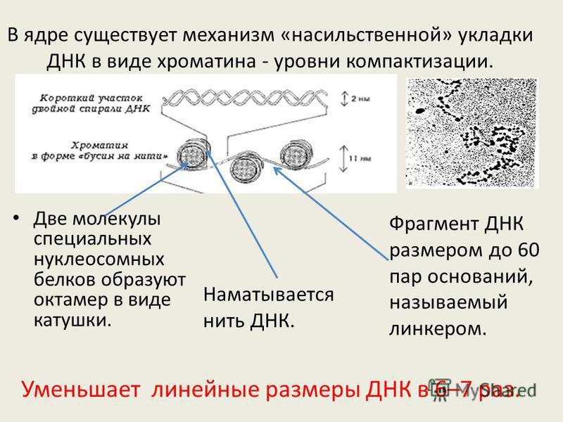 В ядре существует механизм «насильственной» укладки ДНК в виде хроматина - уровни компактизации. Две молекулы специальных нуклеосомных белков образуют октамер в виде катушки. Наматывается нить ДНК. Фрагмент ДНК размером до 60 пар оснований, называемы