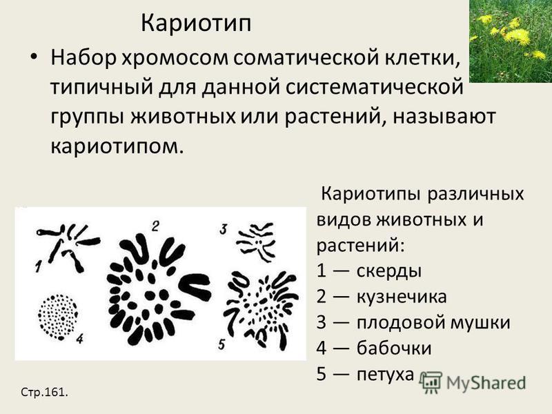 Кариотип Набор хромосом соматической клетки, типичный для данной систематической группы животных или растений, называют кариотипом. Кариотипы различных видов животных и растений: 1 скерды 2 кузнечика 3 плодовой мушки 4 бабочки 5 петуха Стр.161.