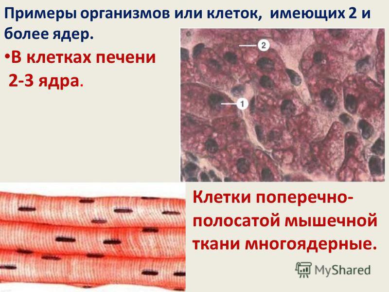 В клетках печени 2-3 ядра. Клетки поперечно- полосатой мышечной ткани многоядерные. Примеры организмов или клеток, имеющих 2 и более ядер.