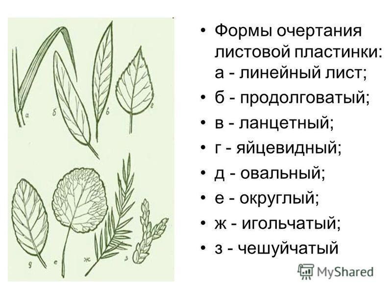 Формы очертания листовой пластинки: а - линейный лист; б - продолговатый; в - ланцетный; г - яйцевидный; д - овальный; е - округлый; ж - игольчатый; з - чешуйчатый