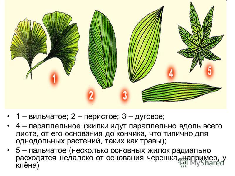 1 – вильчатое; 2 – перистое; 3 – дуговое; 4 – параллельное (жилки идут параллельно вдоль всего листа, от его основания до кончика, что типично для однодольных растений, таких как травы); 5 – пальчатое (несколько основных жилок радиально расходятся не