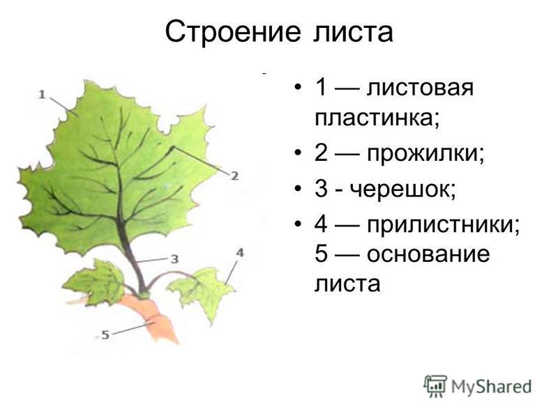 Строение листа 1 листовая пластинка; 2 прожилки; 3 - черешок; 4 прилистники; 5 основание листа
