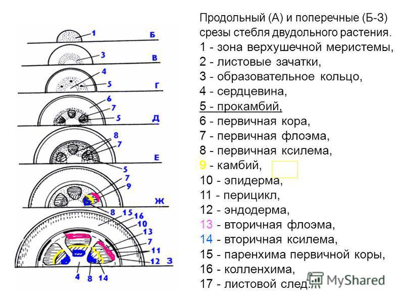 Продольный (А) и поперечные (Б-З) срезы стебля двудольного растения. 1 - зона верхушечной меристемы, 2 - листовые зачатки, 3 - образовательное кольцо, 4 - сердцевина, 5 - прокамбий, 6 - первичная кора, 7 - первичная флоэма, 8 - первичная ксилема, 9 -