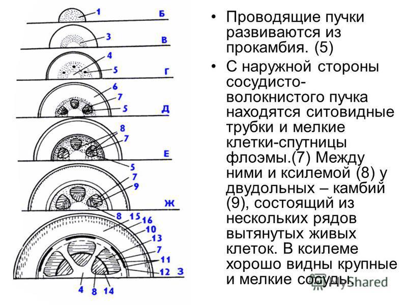 Проводящие пучки развиваются из прокамбия. (5) С наружной стороны сосудисто- волокнистого пучка находятся ситовидные трубки и мелкие клетки-спутницы флоэмы.(7) Между ними и ксилемой (8) у двудольных – камбий (9), состоящий из нескольких рядов вытянут