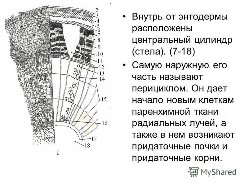 Внутрь от энтодермы расположены центральный цилиндр (стела). (7-18) Самую наружную его часть называют перициклом. Он дает начало новым клеткам паренхимной ткани радиальных лучей, а также в нем возникают придаточные почки и придаточные корни.