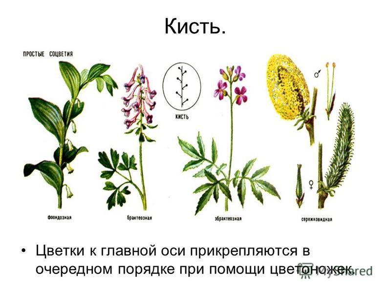 Кисть. Цветки к главной оси прикрепляются в очередном порядке при помощи цветоножек.