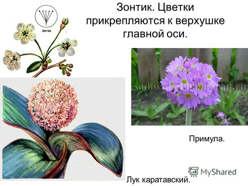 Зонтик. Цветки прикрепляются к верхушке главной оси. Примула. Лук каратавский.