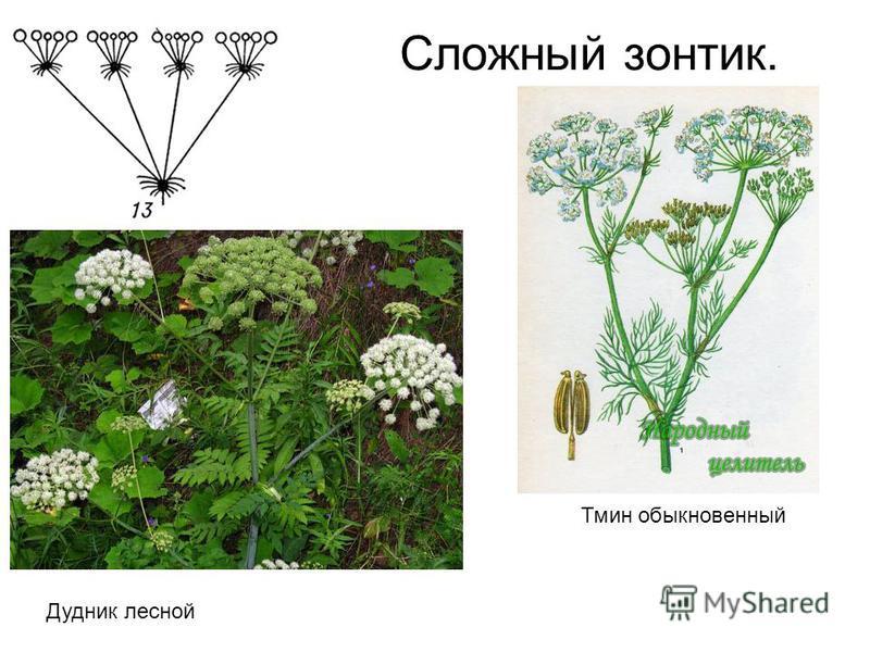 Сложный зонтик. Тмин обыкновенный Дудник лесной