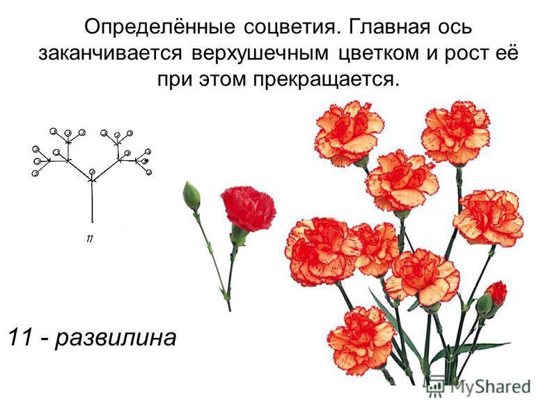 Определённые соцветия. Главная ось заканчивается верхушечным цветком и рост её при этом прекращается. 11 - развилина
