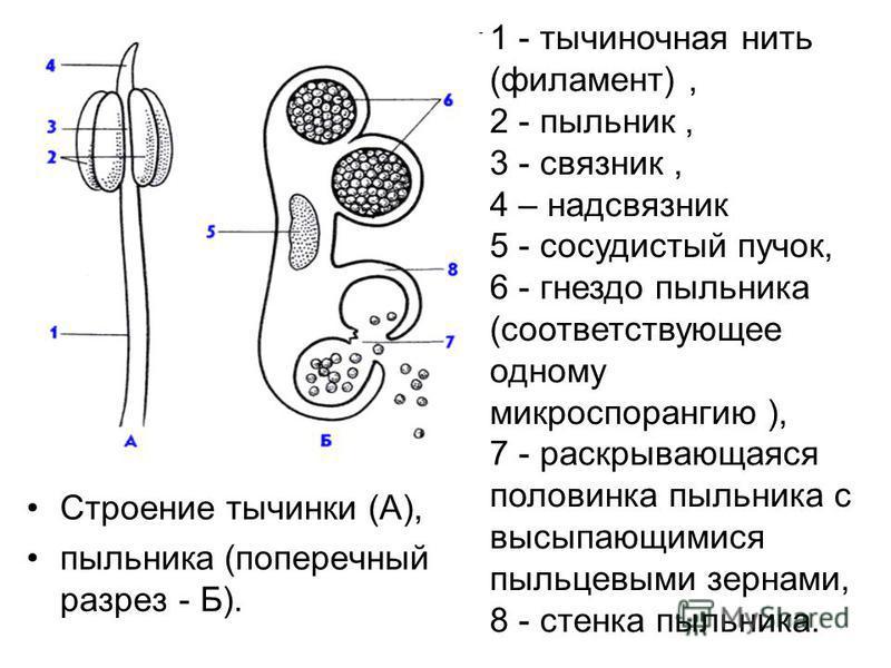 Строение тычинки (А), пыльника (поперечный разрез - Б). 1 - тычиночная нить (филамент), 2 - пыльник, 3 - связник, 4 – надсвязник 5 - сосудистый пучок, 6 - гнездо пыльника (соответствующее одному микроспорангию ), 7 - раскрывающаяся половинка пыльника