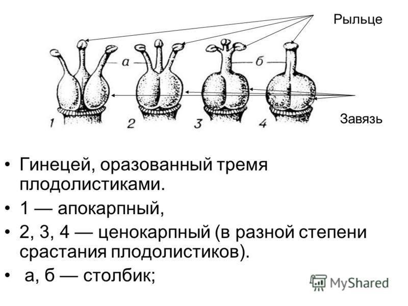 Гинецей, образованный тремя плодолистиками. 1 апокарпный, 2, 3, 4 ценокарпный (в разной степени срастания плодолистиков). а, б столбик; Рыльце Завязь