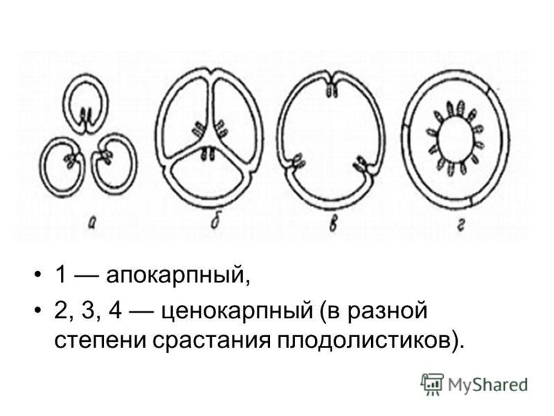 1 апокарпный, 2, 3, 4 ценокарпный (в разной степени срастания плодолистиков).