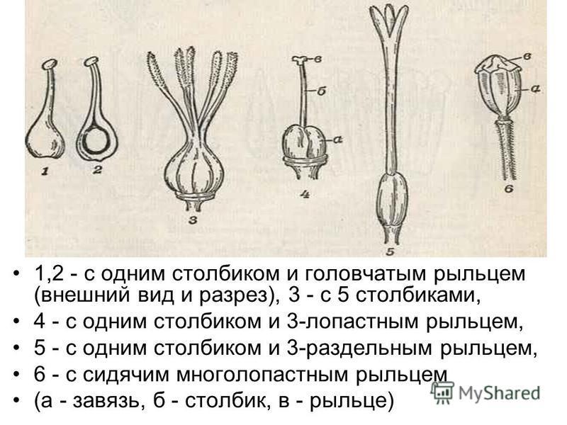 1,2 - с одним столбиком и головчатым рыльцем (внешний вид и разрез), 3 - с 5 столбиками, 4 - с одним столбиком и 3-лопастным рыльцем, 5 - с одним столбиком и 3-раздельным рыльцем, 6 - с сидячим многолопастным рыльцем (а - завязь, б - столбик, в - рыл