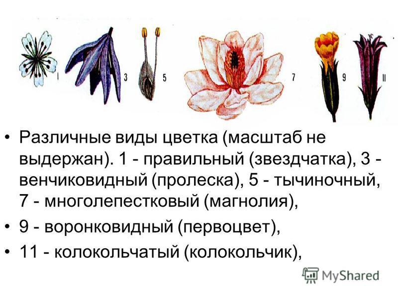 Различные виды цветка (масштаб не выдержан). 1 - правильный (звездчатка), 3 - венчиковидный (пролеска), 5 - тычиночный, 7 - многолепестковый (магнолия), 9 - воронковидный (первоцвет), 11 - колокольчатый (колокольчик),