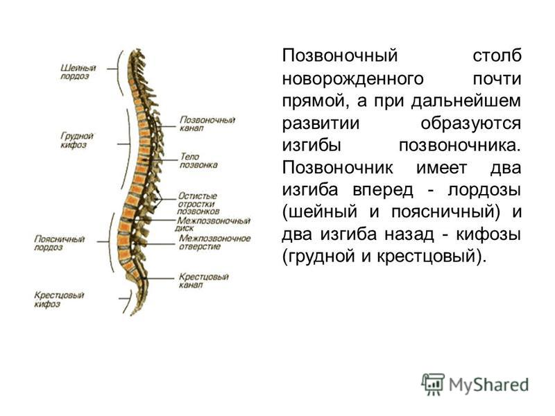Позвоночный столб новорожденного почти прямой, а при дальнейшем развитии образуются изгибы позвоночника. Позвоночник имеет два изгиба вперед - лордозы (шейный и поясничный) и два изгиба назад - кифозы (грудной и крестцовый).