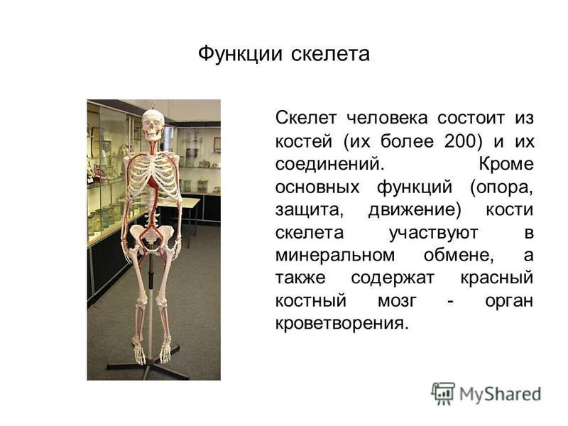 Функции скелета Скелет человека состоит из костей (их более 200) и их соединений. Кроме основных функций (опора, защита, движение) кости скелета участвуют в минеральном обмене, а также содержат красный костный мозг - орган кроветворения.