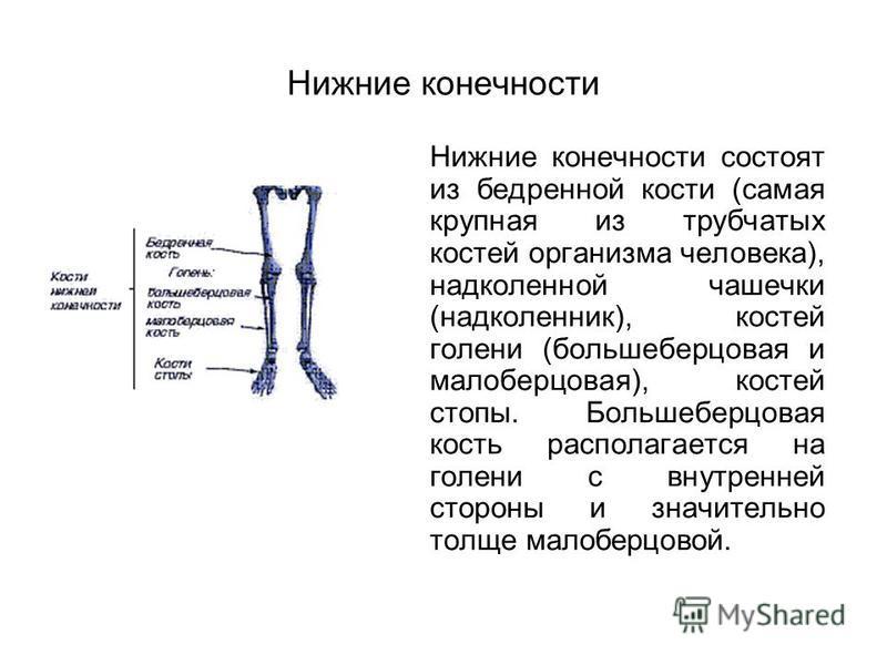 Нижние конечности Нижние конечности состоят из бедренной кости (самая крупная из трубчатых костей организма человека), надколенной чашечки (надколенник), костей голени (большеберцовая и малоберцовая), костей стопы. Большеберцовая кость располагается