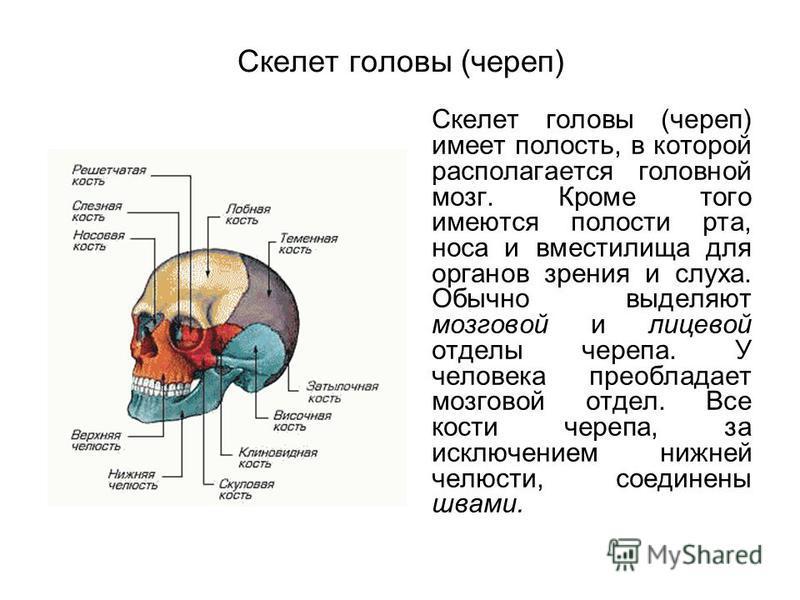 Скелет головы (череп) Скелет головы (череп) имеет полость, в которой располагается головной мозг. Кроме того имеются полости рта, носа и вместилища для органов зрения и слуха. Обычно выделяют мозговой и лицевой отделы черепа. У человека преобладает м
