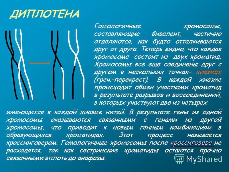 ДИПЛОТЕНА Гомологичные хромосомы, составляющие бивалент, частично отделяются, как будто отталкиваются друг от друга. Теперь видно, что каждая хромосома состоит из двух хроматид. Хромосомы все еще соединены друг с другом в нескольких точках– хиазмах (