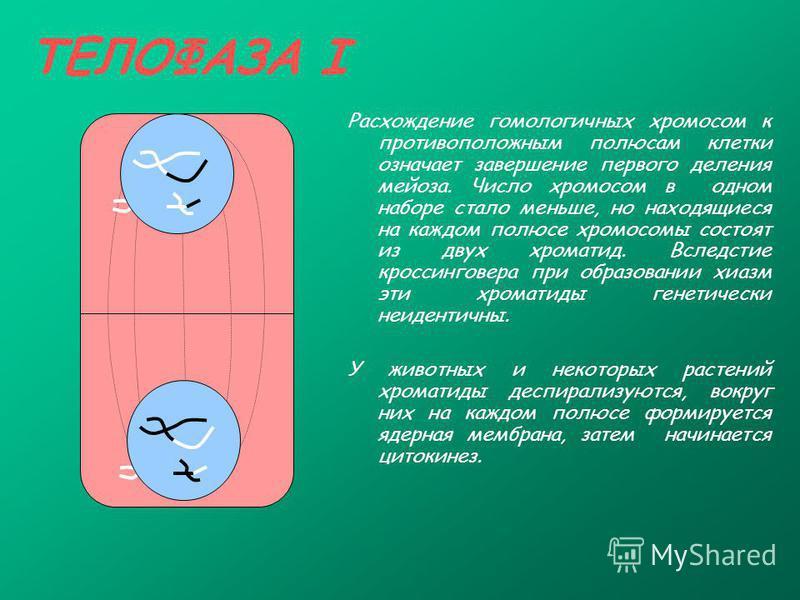 ТЕЛОФАЗА I Расхождение гомологичных хромосом к противоположным полюсам клетки означает завершение первого деления мейоза. Число хромосом в одном наборе стало меньше, но находящиеся на каждом полюсе хромосомы состоят из двух хроматид. Вследстие кросси