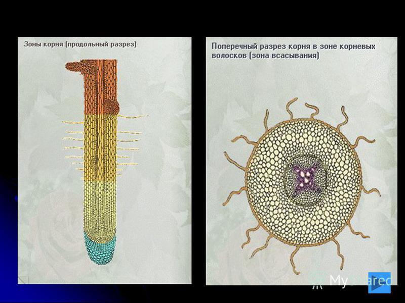 Перидерма Перидерма – сложная покровная ткань стеблей, корней, корневищ многолетних растений (реже однодольных). Она сменяет эпидерму осевых органов, которая постепенно отмирает и слущивается. Перидерма образуется из феллогена (вторичная меристема).